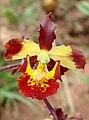 Cyrtopodium brunneum - Flickr 003 - cropped.jpg