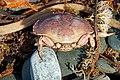 DSC02970 - Crabby..... (31100716758).jpg