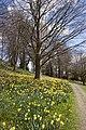 Daffodils The Weir 2 (4489849237).jpg
