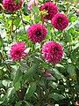 Dahlia 'Lilac Bull Ball' 1.jpg