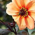Dahlia sp.-IMG 9282.jpg