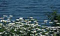 Daisies for NorthLight (213296780).jpg