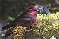 Dark-breasted Rosefinch Pangolakha Wildlife Sanctuary East Sikkim India 14.05.2016.jpg