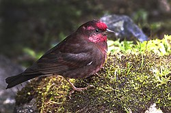 Dark-breasted Rosefinch Pangolakha Wildlife Sanctuary East Sikkim India 14.05.2016.jpg