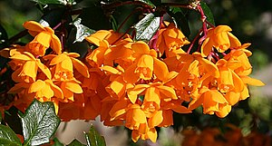 English: Darwin's Barberry (Berberis darwinii)...