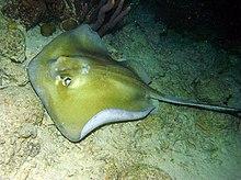 El alimento favorito del tiburon martillo gigante