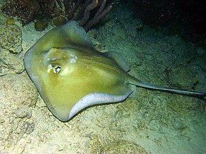 Great hammerhead - Stingrays are a favored prey of the great hammerhead.