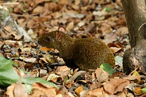Agouti - A Central American agouti eating some fruit