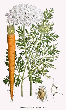 Морковь посевная.