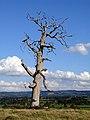 Dead Tree - geograph.org.uk - 250798.jpg