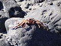 Dead crab, 49 Black Sand Beach, Hawaii.JPG