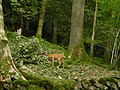 Deer in woodland - geograph.org.uk - 311525.jpg