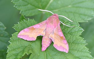 Deilephila porcellus - Image: Deilephila porcellus 01 (xndr)