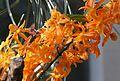 Dendrobium Stardust (12862465915).jpg