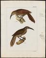 Dendrocolaptes albicollis - 1820-1860 - Print - Iconographia Zoologica - Special Collections University of Amsterdam - UBA01 IZ19200221.tif