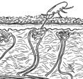 Dermanyssus feeding skin.png