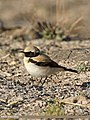 Desert Wheatear (Oenanthe deserti) (28137292561).jpg