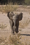 Desert elephant (Loxodonta africana) juvenile 3 years charging.jpg
