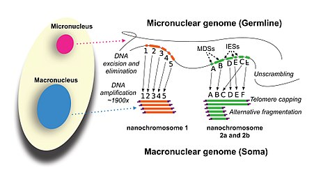 development of the oxytricha macronuclear genome from micronuclear genome