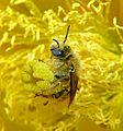 Diadasia Bee Straddles Cactus Flower Carpels.jpg