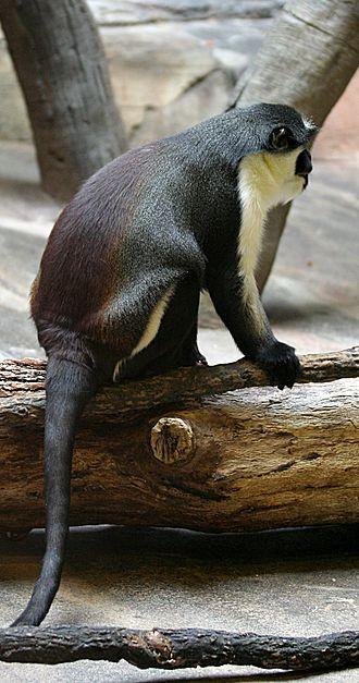 Diana monkey - Image: Diana Monkey