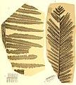 Die fossile Flora der Permischen Formation (1864) (20916259645).jpg