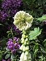 Digitalis purpurea (Pseudo-Pelorie)-2.jpg