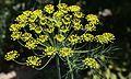 Dill (Anethum graveolens).jpg
