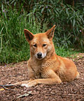 An Australian dingo, taken at a wildlife sanctuary/rescue center.
