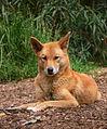 Dingo444.jpg