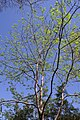 Diospyros virginiana 9zz.jpg