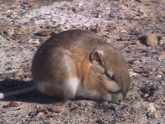 Chisel-toothed kangaroo rat - Image: Dipodomys microps