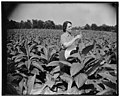 Director of mint relaxes on newly acquired farm. Solomon's Island, MD, July 29. Director of the Mint, Nellie Tayloe Ross, finds rest and relaxation from her arduous Treasury duties on her LCCN2016873822.jpg