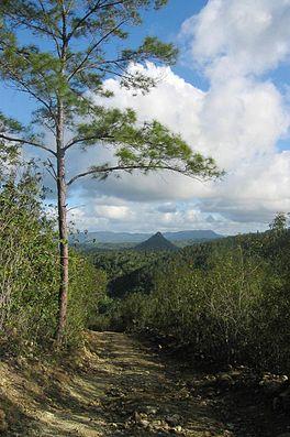 Kuba-Kiefer (Pinus cubensis) in der Nähe von Baracoa