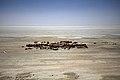 Dobytek na okraji jezera Urmij - panoramio.jpg