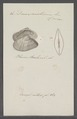 Donax anatinum - - Print - Iconographia Zoologica - Special Collections University of Amsterdam - UBAINV0274 078 11 0020.tif