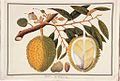 Doorean; Durio stercorae; D. zibethina Linn (William Farquhar Collection, 1819–1823).jpg