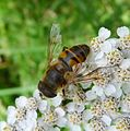 Drone Fly. Eristalsis tenax. - Flickr - gailhampshire.jpg