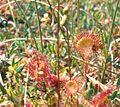 Drosera rotundfolia.jpg
