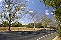 Drought and heatwave affected London Plane Trees (Platanus × hispanica).jpg