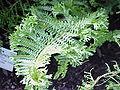 Dryopteris affinis f. cristata1.jpg