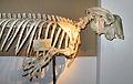 Dugong dugon (skeleton) at Göteborgs Naturhistoriska Museum 7976.jpg