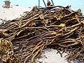 Durvillaea antarctica ... family Durvillaeaceae - Flickr - Dick Culbert.jpg