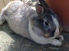 Dutch rabbit - Wikipedia