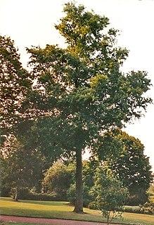 <i>Ulmus</i> Glabra Elm cultivar