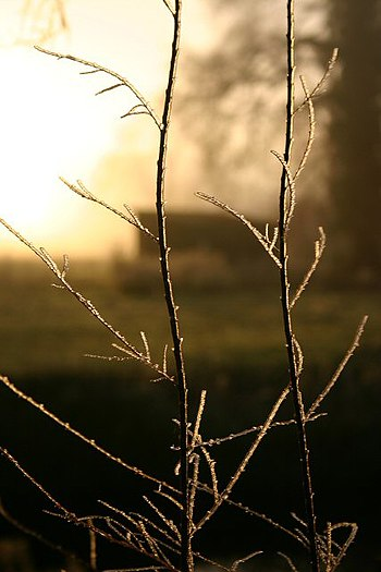 English: Early morning hoar frost In the back ...