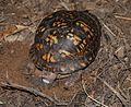 Eastern Box Turtle 8670.jpg