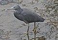 Eastern Reef Egret in Humpbybong Creek-04 (6108072338).jpg