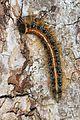 Eastern Tent Caterpillar - Malacosoma americanum, Meadowood Farm SRMA, Mason Neck, Virginia.jpg