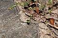 Eastern copperhead - Agkistrodon contortrix (43568388085).jpg
